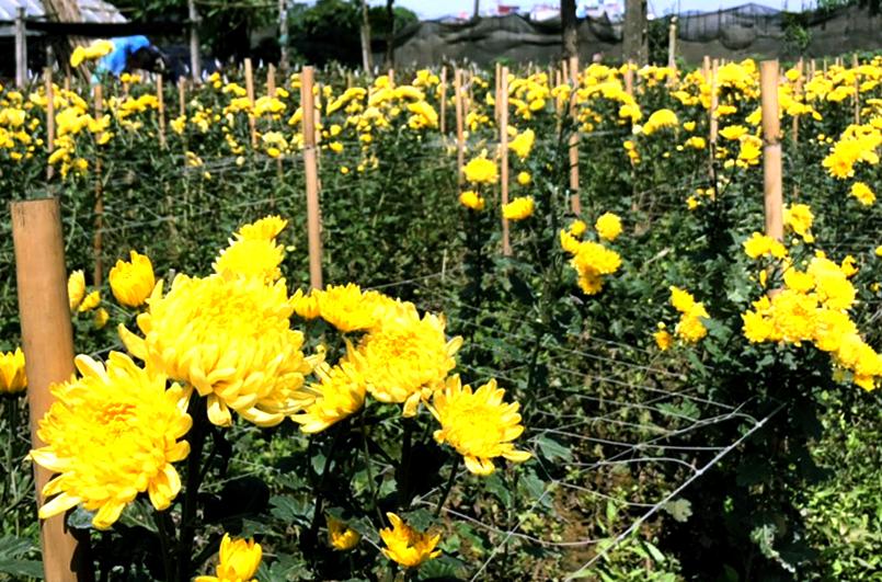 Tây Tựu (Bắc Từ Liêm - Hà Nội): Cần đầu tư khoa học kỹ thuật để phát triển kinh tế nghề trồng hoa