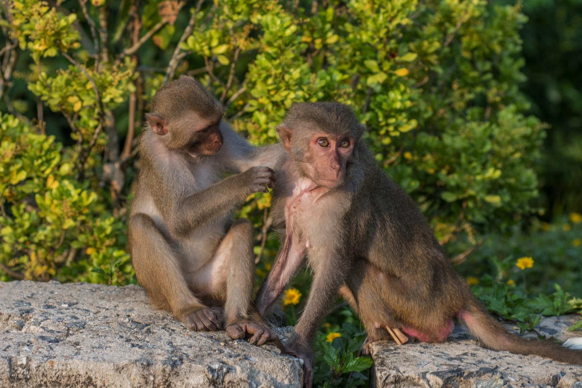 Đà Nẵng: Hãy cứu lấy đàn khỉ ở Chùa Linh Ứng