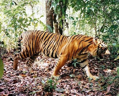 Việt Nam có thể góp phần phục hồi hổ hoang dã trong khu vực bằng cách chấm dứt buôn bán, tiêu thụ và nuôi nhốt hổ bất hợp pháp